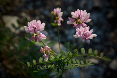 The crownvetch (Securigera varia)
