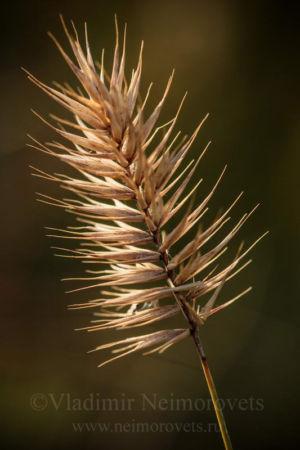 Wheatgrass (Agropyron pinifolium)