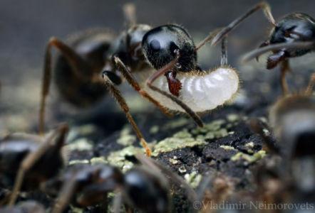 Camponotus sp_IMG_0894