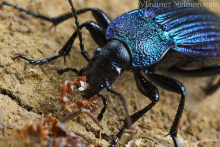 Carabus (Megodontus) septemcarinatus_IMG_7077