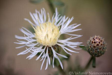 Centaurea biebersteinii_IMG_8044