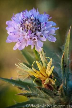 Cephalaria transsylvanica and Carthamus lanatus_IMG_1320