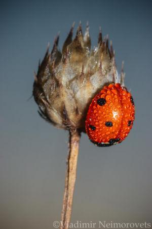 Coccinella septempunctata_MG_0810