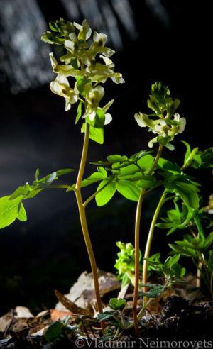 Corydalis marschalliana_MG_6572