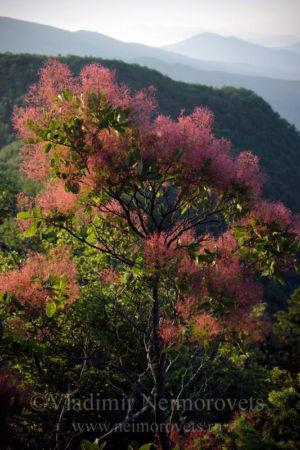 European smoketree (Cotinus coggygria)