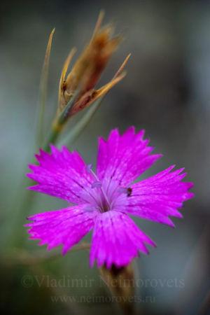 Гвоздика акантолимоновидная (Dianthus acantholimonoides)