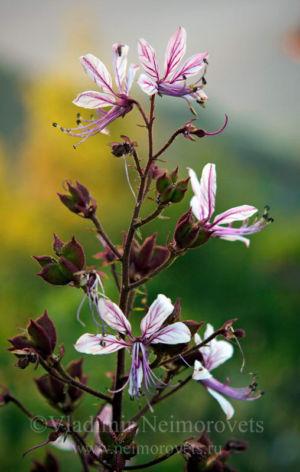 Ясенец голостолбиковый (Dictamnus gymnostylis)