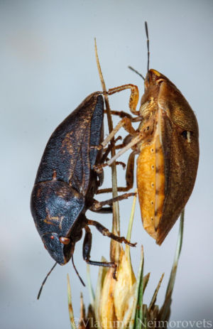 Eurygaster integriceps_IMG_0936