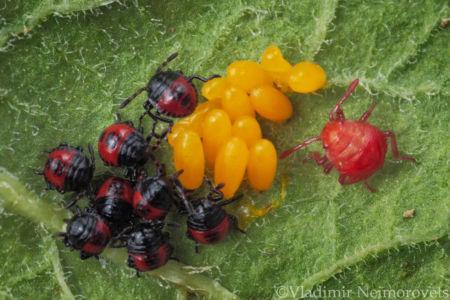 Perillus bioculatus and Leptinotarsa decemlineata_IMG_0167