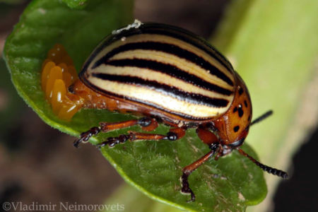 Leptinotarsa decemlineata_ the Colorado potato beetle_ IMG_0206