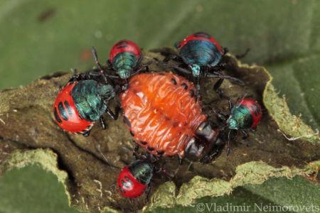 Perillus bioculatus and Leptinotarsa decemlineata_IMG_0883