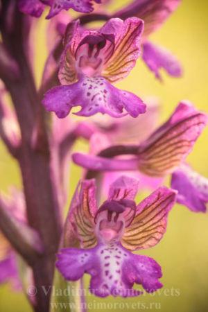Anacamptis morio ssp. caucasica_IMG_3515