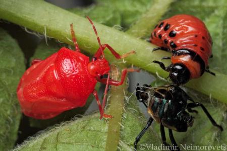 Perillus bioculatus and Leptinotarsa decemlineata_IMG_5623