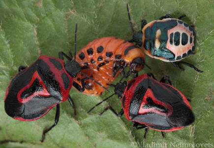 Perillus bioculatus and Leptinotarsa decemlineata_IMG_5807