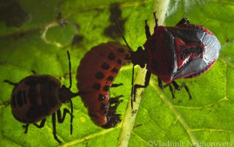 Perillus bioculatus and Leptinotarsa decemlineata_IMG_5842