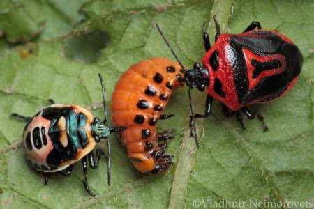 Perillus bioculatus and Leptinotarsa decemlineata_IMG_5843