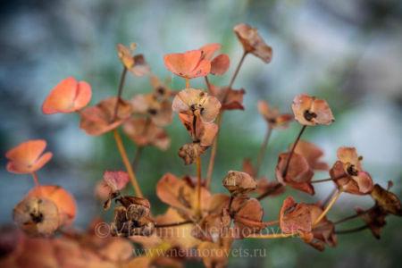 Молочай (Euphorbia)