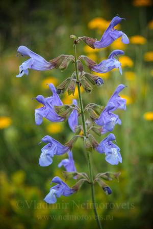 Шалфей раскрытый (Salvia ringens)