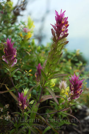 Марьянник полевой (Melampyrum arvense)