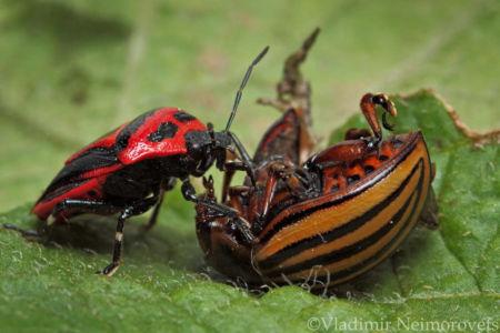Perillus bioculatus and Leptinotarsa decemlineata_IMG_9051