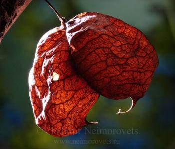 Клекачка перистая (Staphylea pinnata)