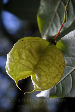 European bladdernut (Staphylea pinnata)