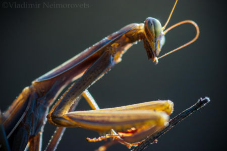 Mantis religiosa__MG_9123
