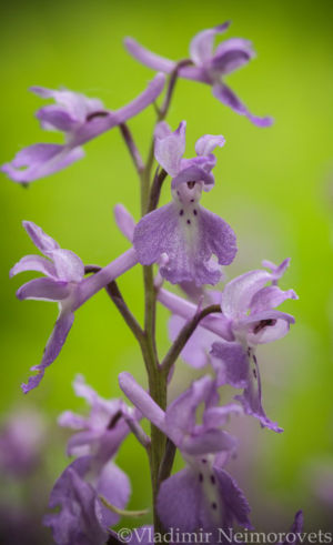Orchis mascula_IMG_6155