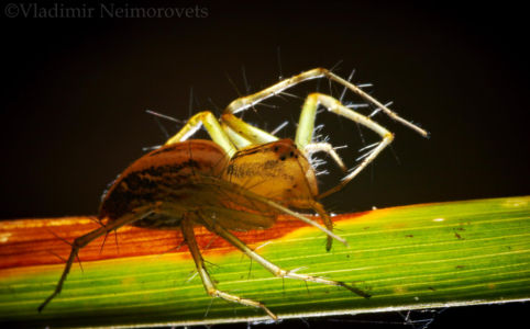 Oxyopes lineatus_MG_3551