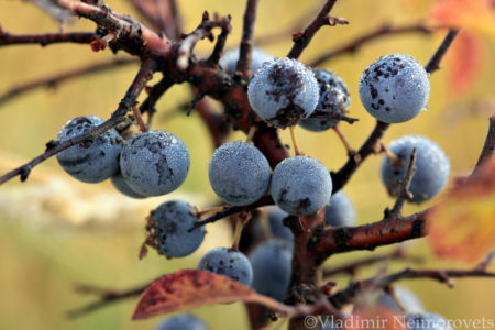 Prunus spinosa_IMG_7832
