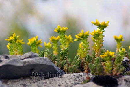 The goldmoss stonecrop (Sedum acre)