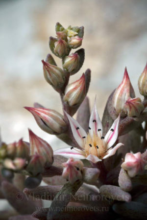 The Spanish stonecrop (Sedum hispanicum)