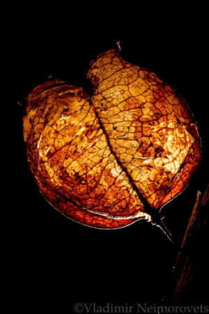 Staphylea pinnata_MG_6871