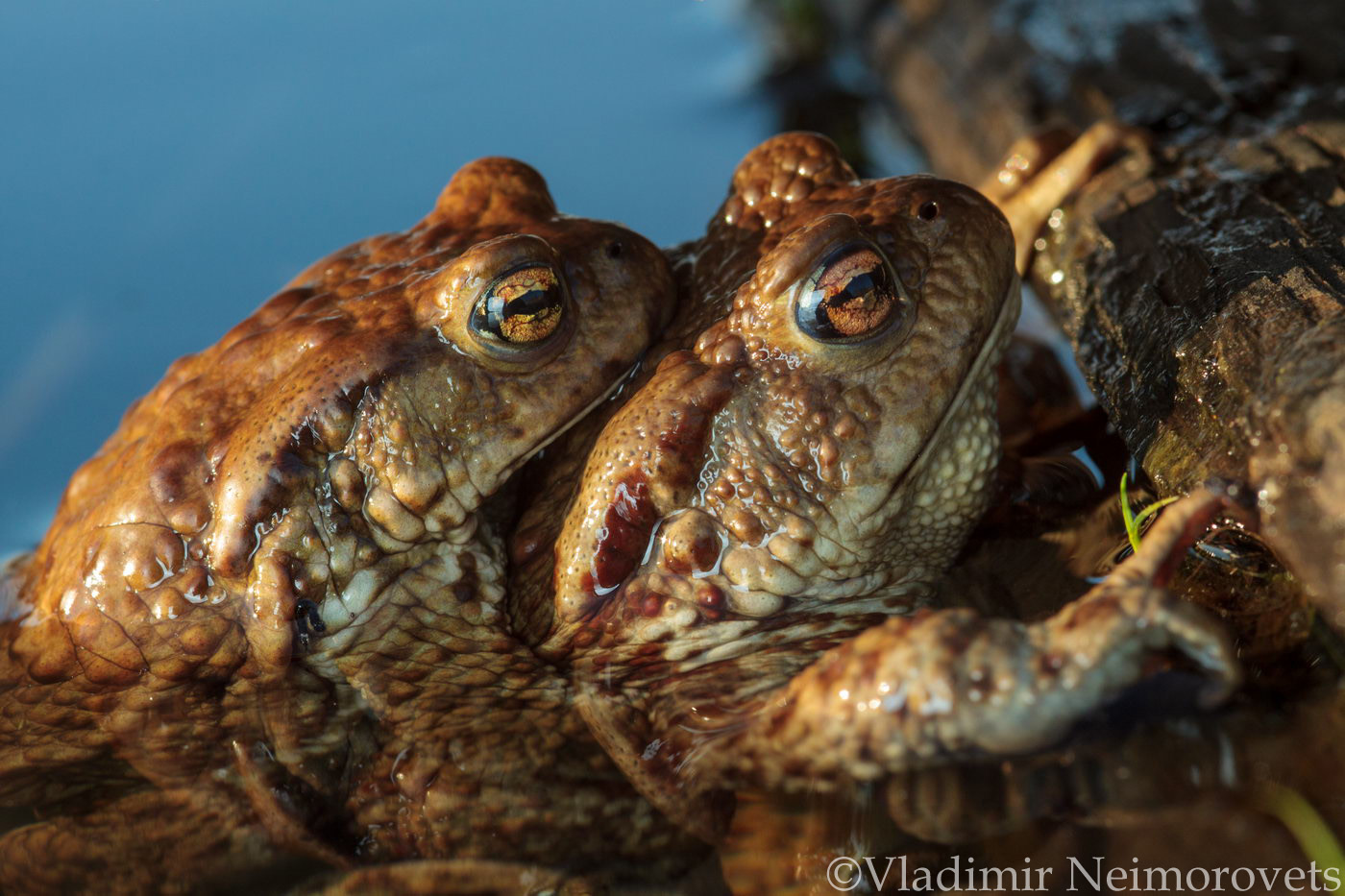 Bufo bufo_Leningrad region_common toad_European toad_toad