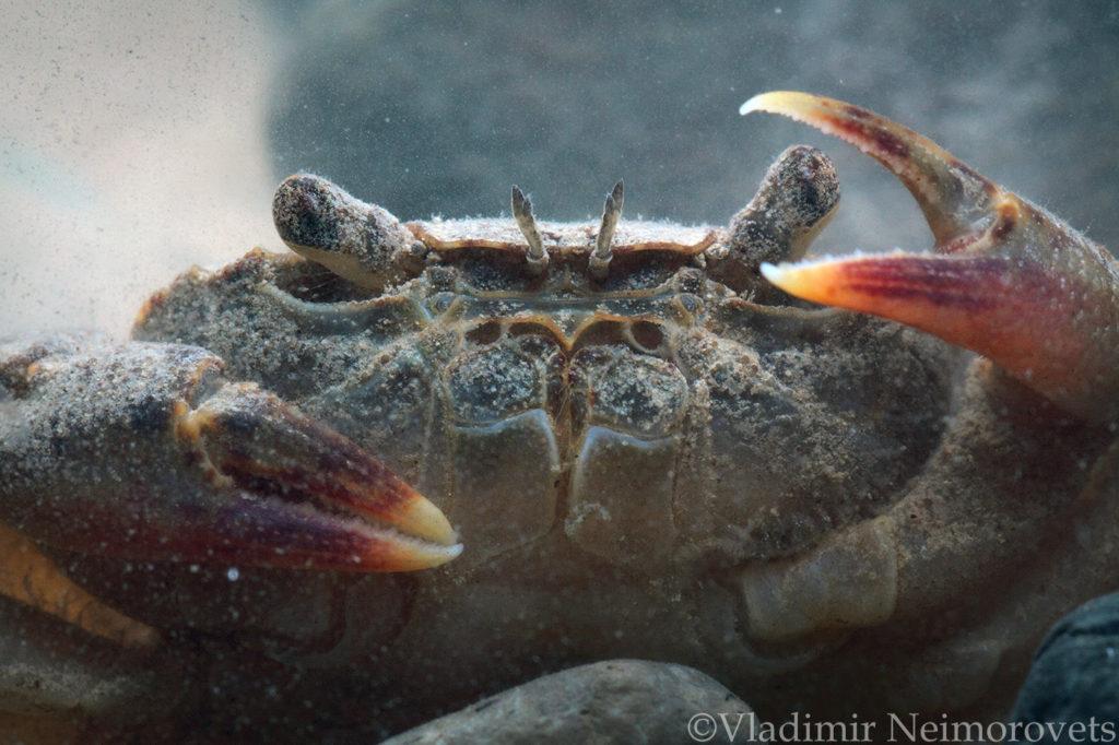 Potamon tauricum_Krasnodar Territory_North-Western Caucasus_freshwater crab