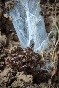 Atypus affinis_Krasnodar Territory_North-Western Caucasus_spider_purse web spiderr_tube of silk_exuvium