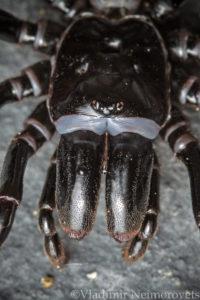 Atypus affinis_Krasnodar Territory_North-Western Caucasus_spider_purse web spider