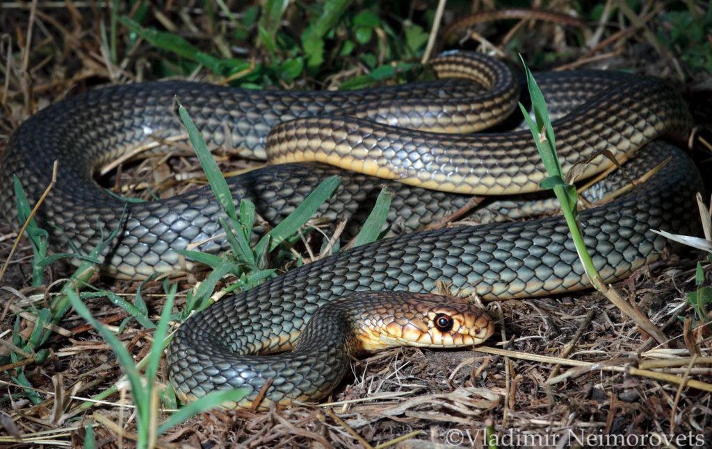 Dolichophis caspius_Krasnodar Territory_North-Western Caucasus_snake_Caspian whipsnake