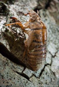 Lyristes plebejus_Krasnodar Territory_North-Western Caucasus_common cicada_Cicada plebeian_exuvium