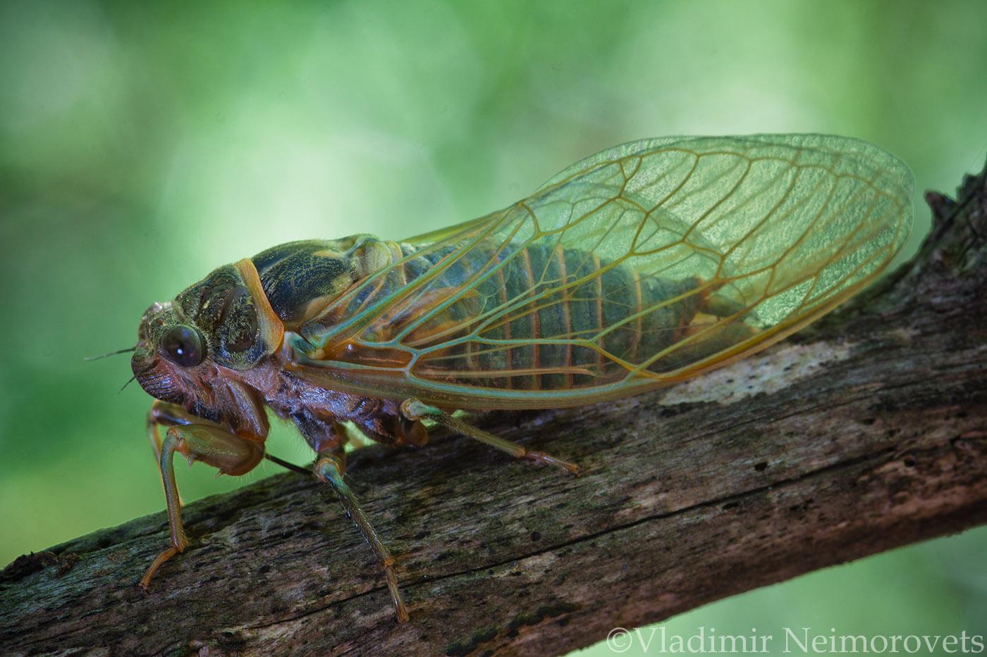 Lyristes plebejus_Krasnodar Territory_North-Western Caucasus_common cicada_Cicada plebeian