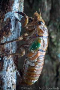 Lyristes plebejus_Krasnodar Territory_North-Western Caucasus_common cicada_Cicada plebeian_nimph