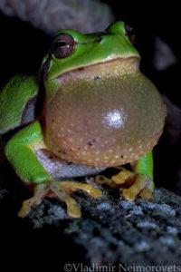 Hyla arborea schelkownikowi_Krasnodar Territory_North-Western Caucasus_tree frog