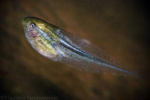 Hyla arborea schelkownikowi_tadpole_European tree frog