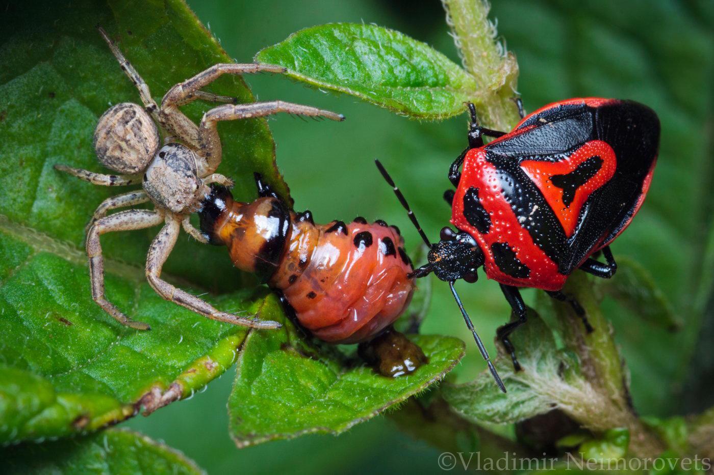 Xysticus sp. Perillus bioculatus Leptinotarsa decemlineata_Krasnodar Territory_North-Western Caucasus_spider_true bug_larvae_beetle_stink bug