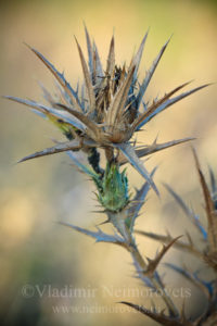 The woolly distaff thistle (Carthamus lanatus)