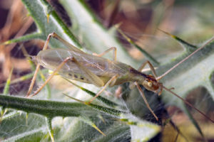 Italian tree cricket - Oecanthus pellucens