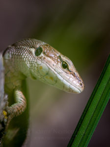 Portrait of the meadow lizard (Darevskia praticola)