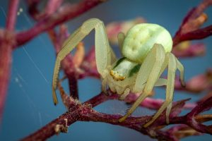 The flower crab spider Misumena vatia