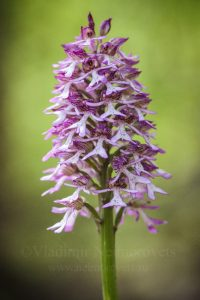The lady orchid (Orchis purpurea ssp. caucasica)
