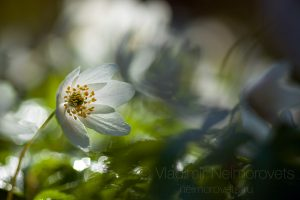 The wood anemone (Anemone nemorosa)